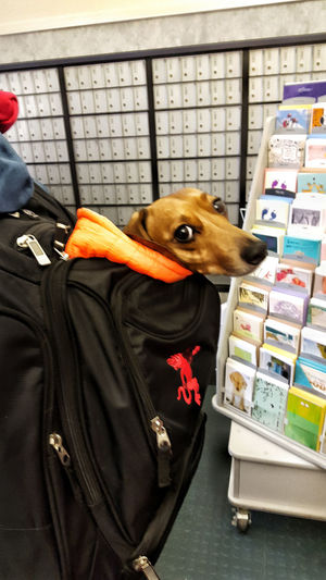 pampered pooch enjoying the good life at the post office Animal Themes Backpack Candid Composition Curiosity Dog Domestic Animals Front View Home Indoors  Lifestyles Looking At Camera One Animal Perspective Pets Portrait Real People Relaxation Relaxing Sitting Standing Togetherness Zoology
