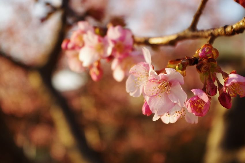 さくら 桜 春 Flower Head Tree Flower Branch Springtime Pink Color Plum Blossom Petal Blossom Stamen