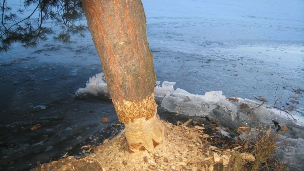 Beavers beetle tree Beaver Work Tree Nature Outdoors No People Water Day Beauty In Nature Winter Tree