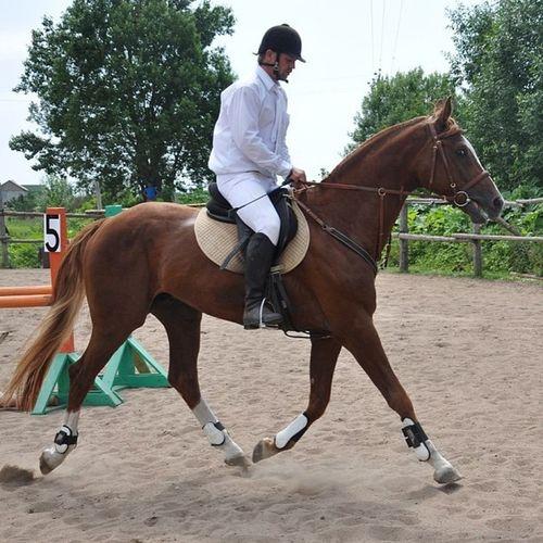 first time our baby went to competition it was really stressful for him, but he still was a good boy) Horse Half Holstein Chessnut stallionkifferrussiaconcurcompetitionfirsttimepskovпсковжеребецпервыесоревнованияконкурполуголштинукраинецнагавкикиферуздечка