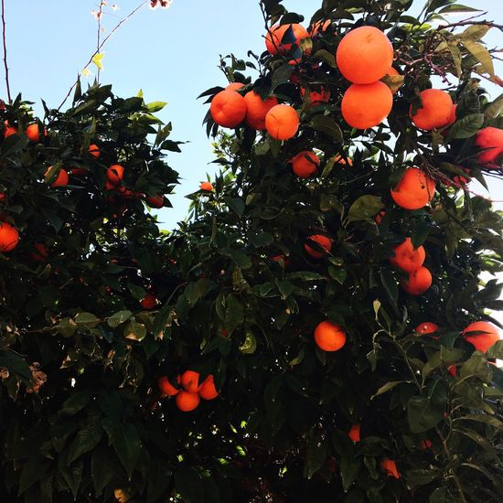 Fruit Growth Tree Food And Drink Orange Tree Orange - Fruit No People Food Freshness Nature Healthy Eating апельсин красота кипр Cyprus Outdoors Day Sky Close-up Beauty In Nature