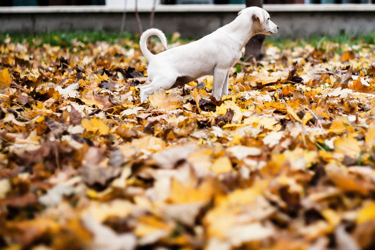 Full Length Portrait Of Dog Urinating On Fallen Leaves