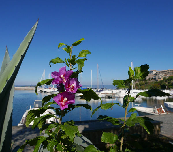 Beauty In Nature Blooming Blue Clear Sky Close-up Flower Flower Head Growth Ibiscus Lake Water