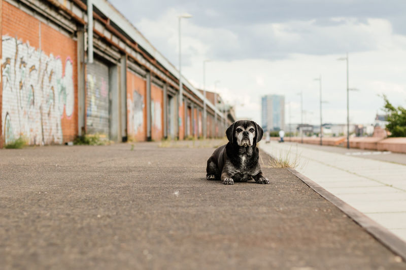 Black medium-sized dog looking at camera with city in the background Medium-sized Dog Pet Photography  Animal Photography Animal Themes Black Dog City Dog City In The Background Dog Dog In The City Dog Laying On Ground Dog Looking At Camera Dog Photography No People One Animal Outdoors Pet Portrait Puggle