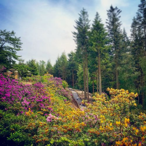 Azalea Walk, Longleat Forest, Center Parcs Azalea Beauty In Nature Blooming Blossom Colourful Day Flower Forest Freshness Green Color Growing Idyllic In Bloom On The Way Landscape Lush Foliage Nature Non-urban Scene Outdoors Plant Scenics Sky Tranquil Scene Tree Wandering