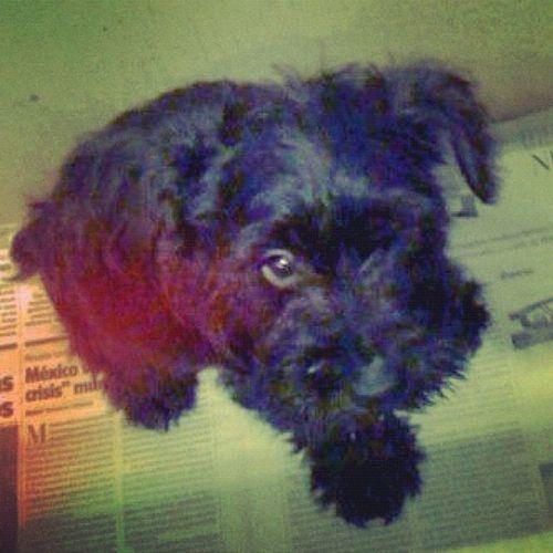 My Angel. Te extraño :( Instadogs Dogs Baby Scnhauzers
