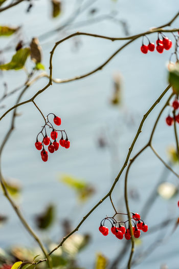 Fruit Red Healthy Eating Food Focus On Foreground Food And Drink Tree Berry Fruit Growth Freshness Close-up Plant Branch Day No People Twig Nature Beauty In Nature Wellbeing Outdoors Ripe Red Currant Rowanberry