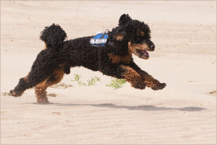 View of dog running on beach
