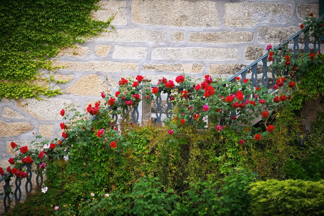 Rose stairs Success Graph Staircase Stairs Plant Flower Flowering Plant Growth Nature Beauty In Nature Day