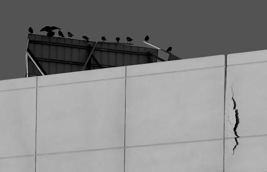 Birds Wild Birds Crows Monochrome Blackandwhite Perched Demolition Demolition Zone