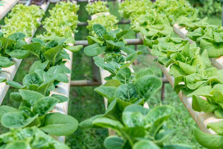 Close-up of fresh green plants in farm