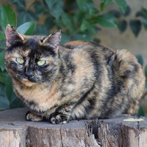 😻 Catsofinstagram Caturday Catstagram Catlover Cat Gato Gat Nekostragram Neko Coloniafalguera Carey Tortoisecat AdoptDontShop Adopt Adopta Adoptanocompres