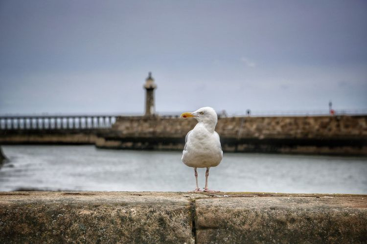 Whitby Whitby Whitby Abbey Bird Water Animal Sky Animal Themes Vertebrate Architecture Seagull Animals In The Wild Sea One Animal Nature Animal Wildlife Built Structure Perching Day No People Focus On Foreground Railing Outdoors