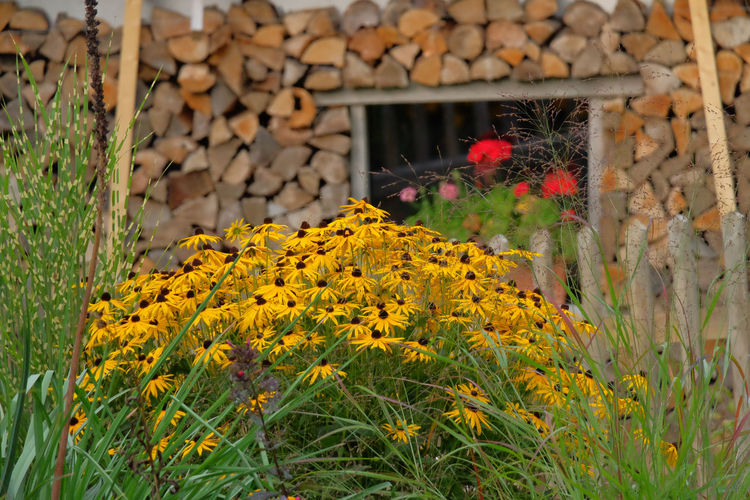 Rudbeckia flowers , garden scenery with stacked fire timber around a window and red geraniums in the background Flower Garden Gardening Blooming Flower Flower Head Garden Rudbeckia Flowers Yellow Flowers Yellow Petals