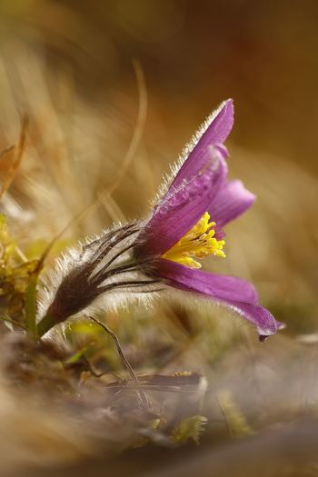 Pulsatilla vulgaris Animal Themes Beauty In Nature Blooming Close-up Day Flower Flower Head Fragility Freshness Growth Nature No People Outdoors Petal Plant Selective Focus