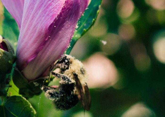 Sound Of Life Bumblebee Buzzing Pollen Pollenation Flowers