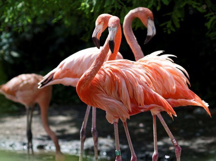 Greater flamingos at zoo