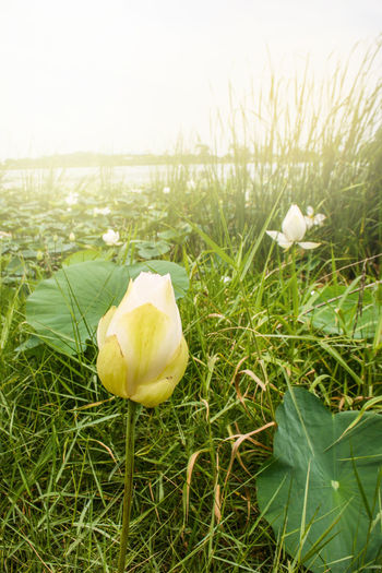 Lotus Park Nature White Lotus Water Lily Asin Style Backgrounds Leaves Travel Fungus Flower Close-up Grass Green Color