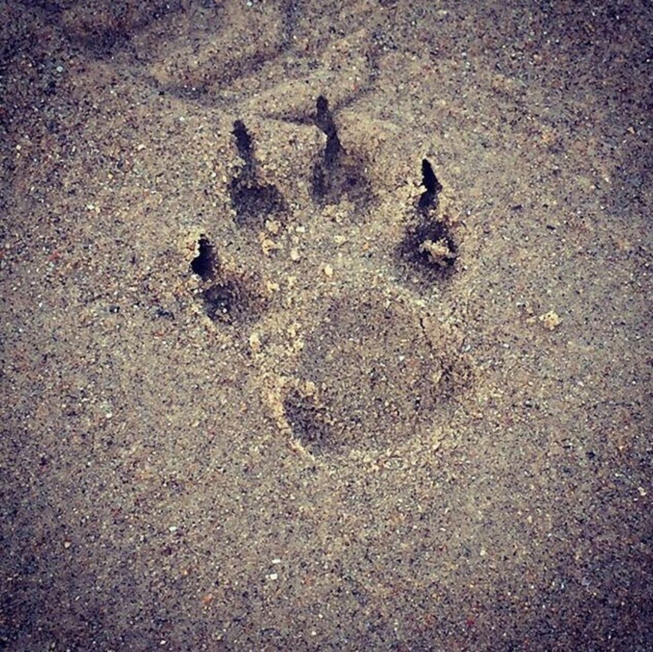 paw print, footprint, day, animal track, outdoors, track - imprint, no people, high angle view, sand, beach, nature, close-up