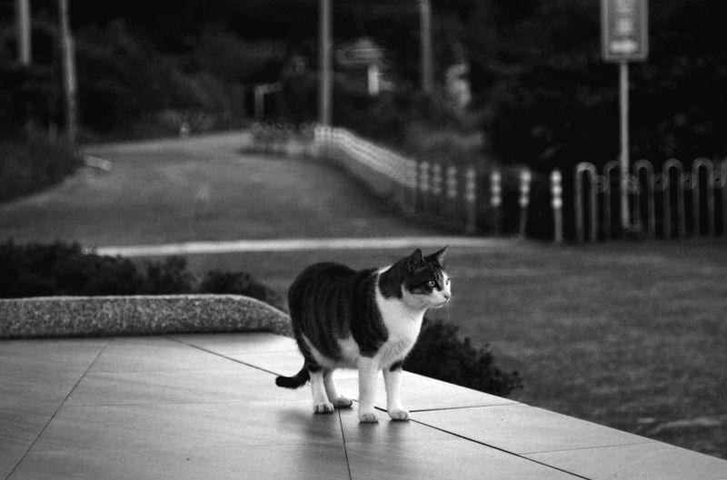 朱銘外的貓
