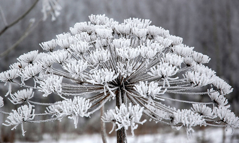 Cow Parsnip or Heracleum covered with frost. Frost Plant Seeds Beauty In Nature Branch Close-up Cold Temperature Cow Parsnip Flower Flower Head Flower Heads Focus On Foreground Fragility Frosty Frozen Growth Heracleum Nature Outdoors Snow Snowflake Stem Tree White Color Winter