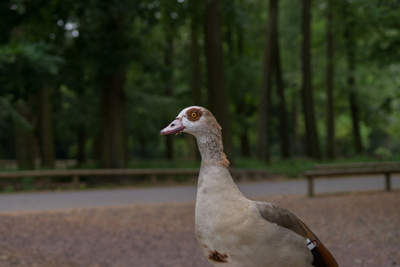 Animal Photography Animal Themes Animal_collection Beauty In Nature Bird Birds_collection Close-up Egyptian Goose EyeEm Nature Lover Focus On Foreground From My Point Of View Goose Nature Nature_collection Nile Goose No People Outdoors