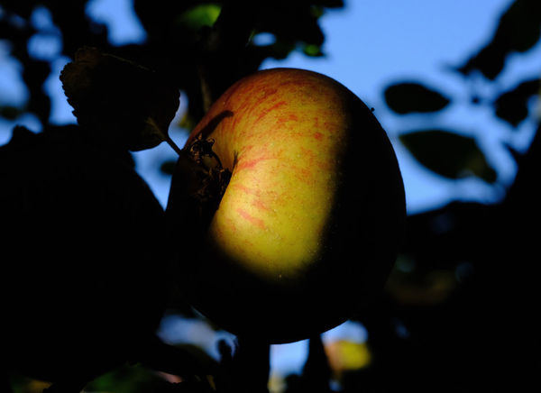 Apple - Fruit Close-up Food Food And Drink Fruit Fruit Tree Healthy Eating Outdoors Plant Tree Wellbeing