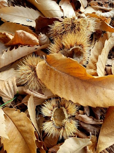 Chestnut Chestnut Curls Autumn Autumn Colors Autumn Leaves Nature Details Textures And Surfaces Pattern, Texture, Shape And Form Dried Leaves Yellow Color Full Frame Day Backgrounds No People High Angle View Nature Outdoors Sunlight Close-up Beauty In Nature