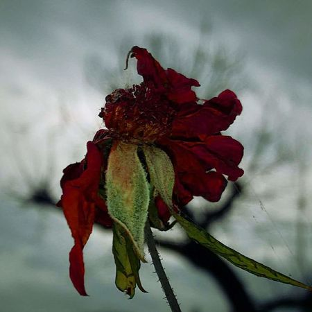 Morta Folhas ❤ Flores Flor Vida Red Nature No People One Animal Outdoors Fragility Flower Day Close-up Beauty In Nature