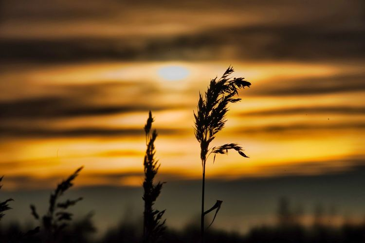 Grass in dawn Sunset Plant Focus On Foreground Beauty In Nature Growth Sky Nature Silhouette