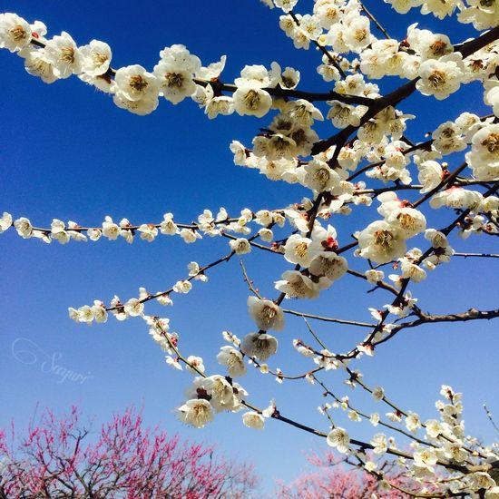 梅まつり New Japan Photography Spring Flowers Pink Flowers Cute White Ume Sky Sky Collection