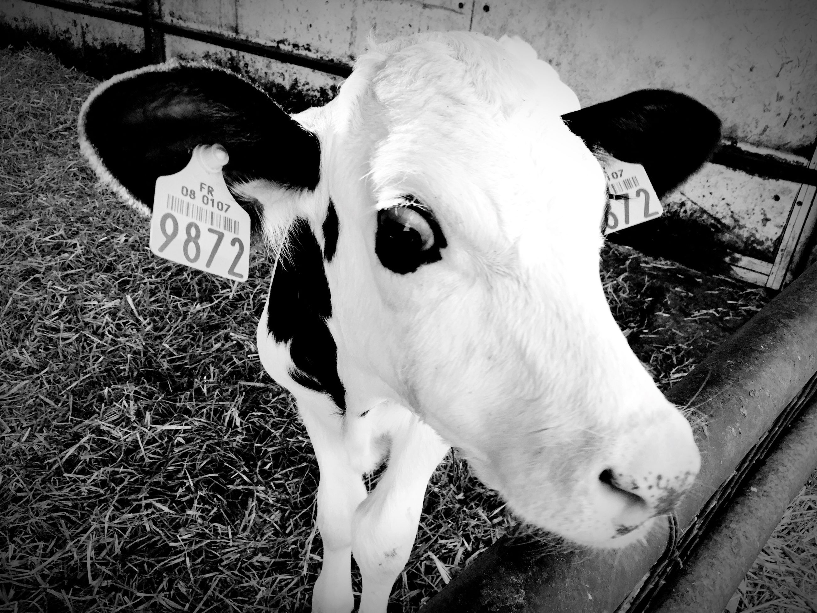 domestic animals, animal themes, one animal, high angle view, pets, mammal, white color, dog, grass, field, day, no people, outdoors, shadow, metal, close-up, standing, sunlight, livestock, two animals