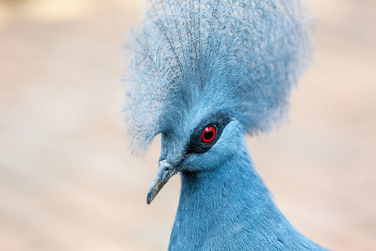 Animal Themes Beak Big Hair Bird Blue Bird Captive Captivity Close-up Day No People One Animal Outdoors Wild Animal Wild Animals