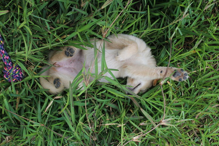 Playful pup Pet Portraits Animal Themes Animals In The Wild Close-up Day Domestic Animals Grass Green Color High Angle View Lying Down Mammal Nature No People One Animal Outdoors Pets Relaxation