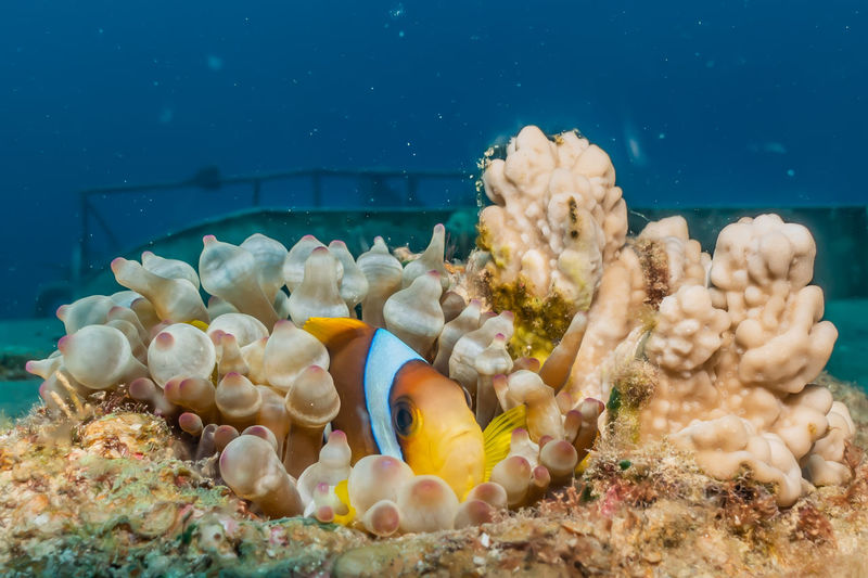 Clownfish in the Red Sea Colorful and beautiful, Eilat Israel Sea Underwater Water Animal Wildlife Animals In The Wild Sea Life UnderSea Marine Animal Invertebrate Animal Themes Swimming No People Coral Nature Group Of Animals Fish Beauty In Nature Clown Fish