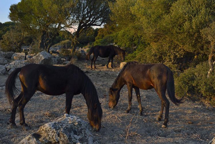 Animal Brown Herbivorous Horses Landscape Parco Della Giara Sardegna Sardinia Sardegna Italy  Tranquility Tree Tuili, Medio Campidano