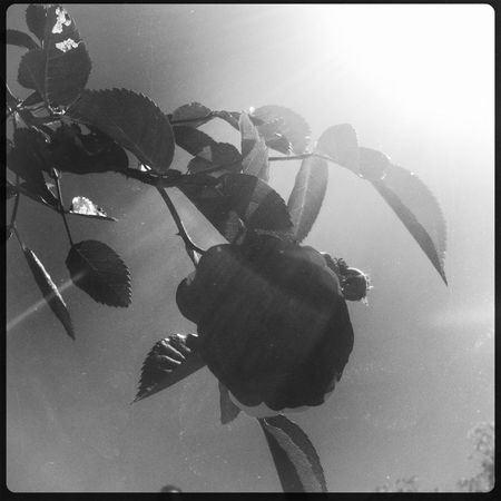 Roses in the sun Hipstamatic Blackandwhite TheMinimals (less Edit Juxt Photography) Bw_collection Monochrome Photography