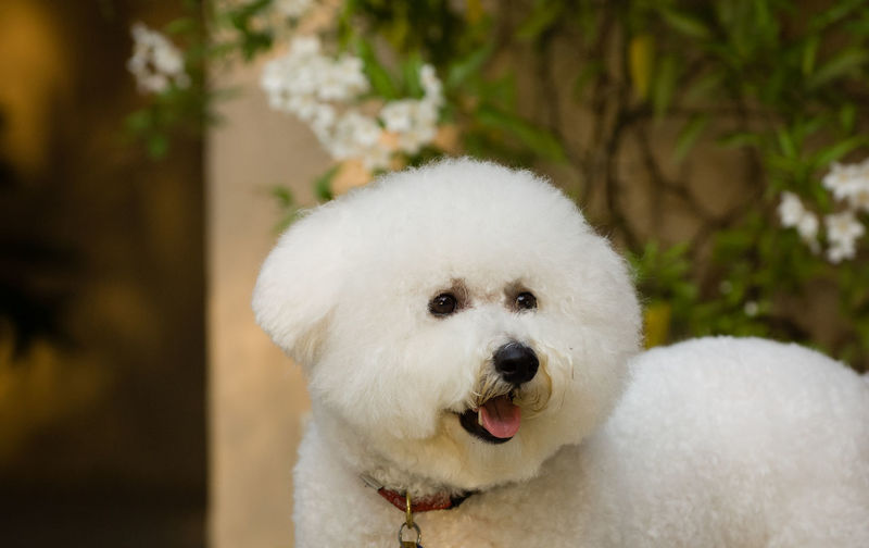 Close-Up Of White Dog Standing Outdoors