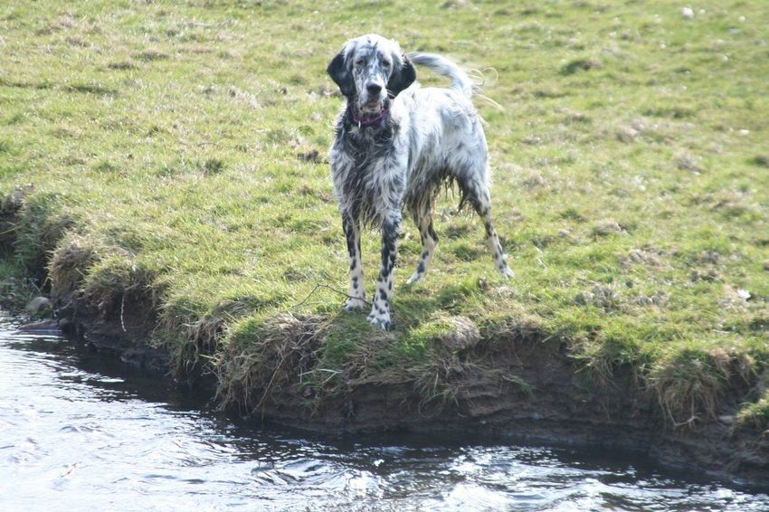 Sapphire Dogs Photography Dogwalk River Collection River Photooftheday Fun English Setter Pet Photography
