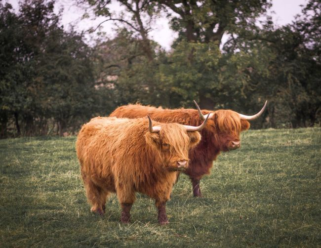 Highland cows ayrshire Livestock Domestic Animals Animal Themes Grass Brown Field Green Color Highland Cattle Outdoors