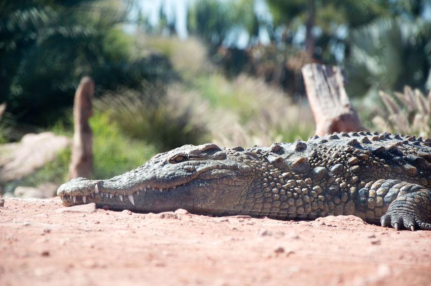 Nile crocodile Reptile Alligator Crocodile Water Sand Close-up Animal Scale Animal Eye Skin Teeth Animal Teeth Eye Leg Animal Skin Animals Hunting