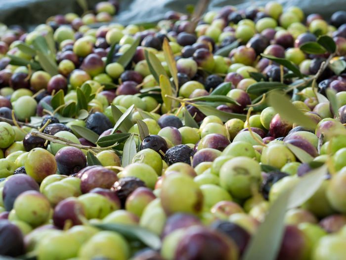 Colorful ripe olives close up Agriculture Croatia Mediterranean  Natural Olive Rural Close-up Day Food Food And Drink Freshness Green Color Harvest Harvesting Large Group Of Objects Leaves Nature No People Oil Olive Olives Outdoors Season  Selective Focus