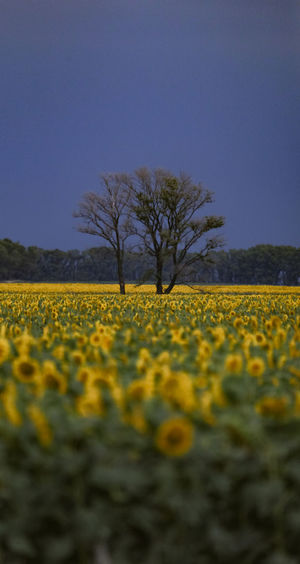 Scenic view of yellow flower field against clear sky