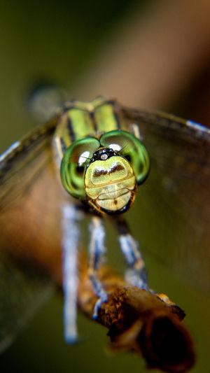 dragon fly eyes