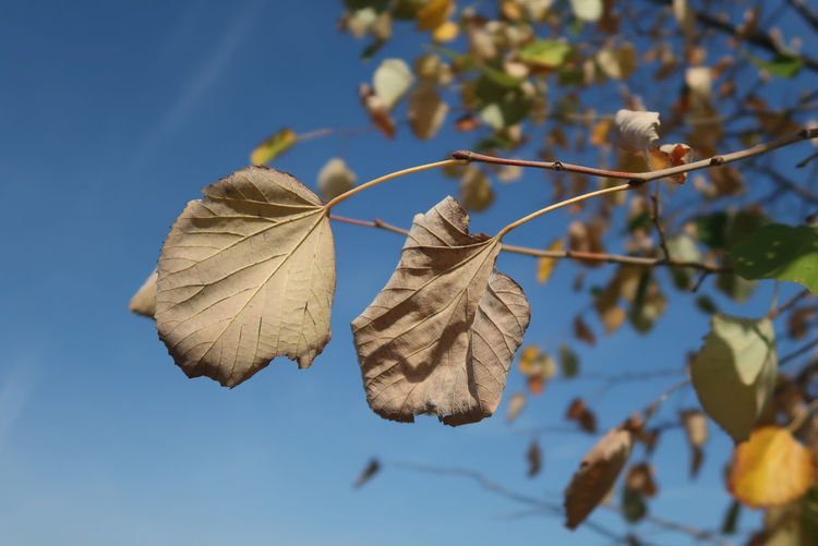 Linden leaves Autumn Plant Sunlight Blue Sky Brown Close-up Closeup Day Detail Fall Leaf Linden Tree Nature No People Outdoors Season  Sky Sunny Day Tree Twig