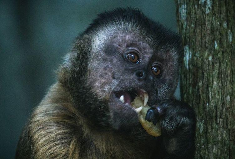 Monkey in Ubajara Brazil Monkey Wildlife Animals In The Wild Animal Themes Animal Animal Wildlife Portrait Looking At Camera Gorilla Close-up Primate Ape Tropical Rainforest Rainforest Endangered Species Chimpanzee Infant Animal Eye