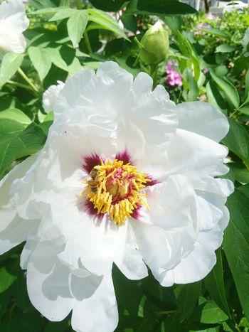 Flower Petal Beauty In Nature White Color Leaf Springtime 中国风