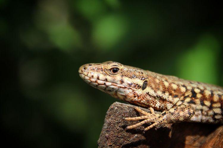 EyeEm Selects Reptile Tree Close-up Iguana Lizard Exotic Pets Animal Eye Animal Skin Animal Scale Bearded Dragon