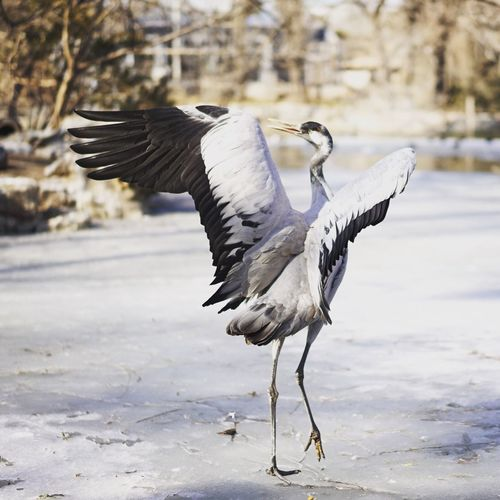 Crane with spread wings on frozen lake