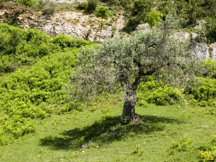 olive tree Tree